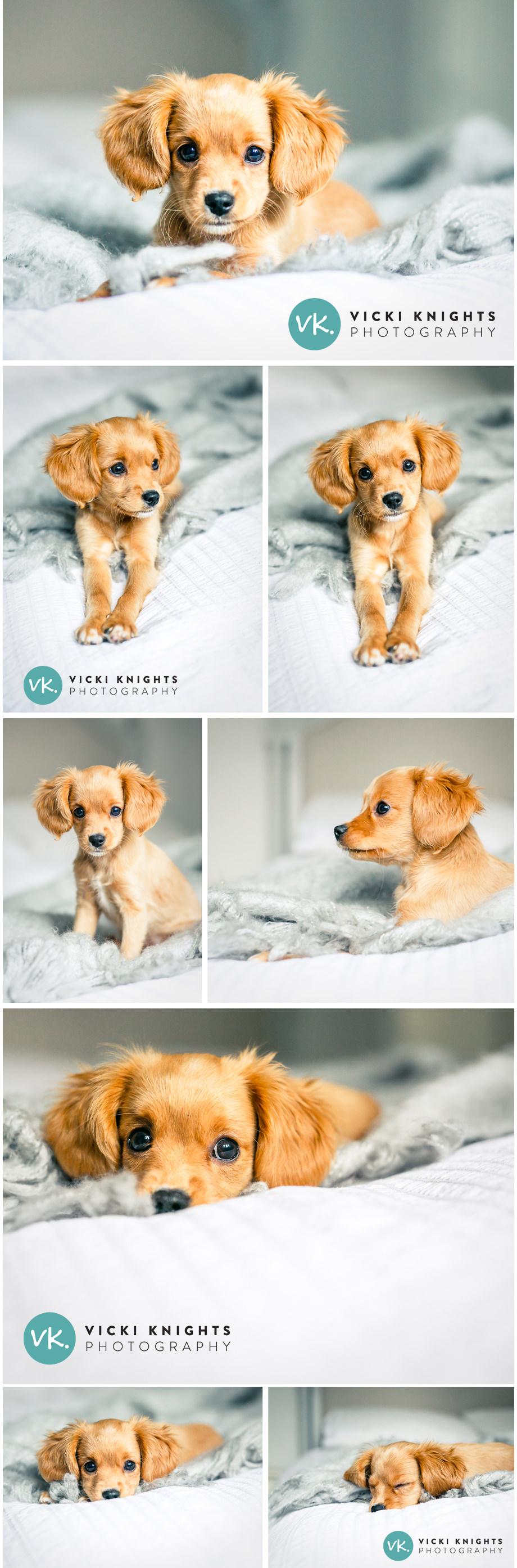 cavapoo-puppy-photography-vicki-knights
